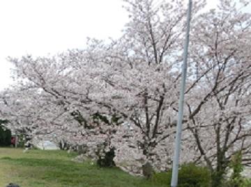 お花見-1.jpg